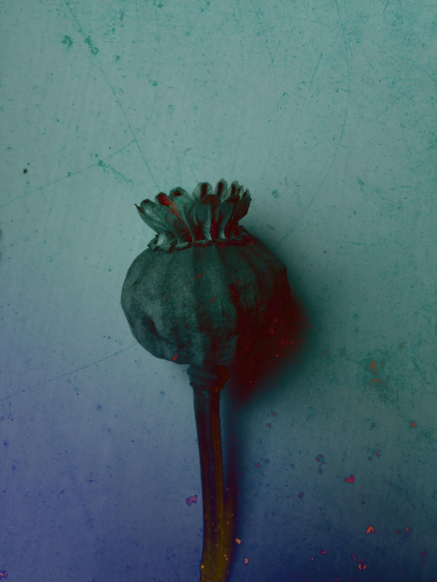 Blue Poppy by inkydigit
